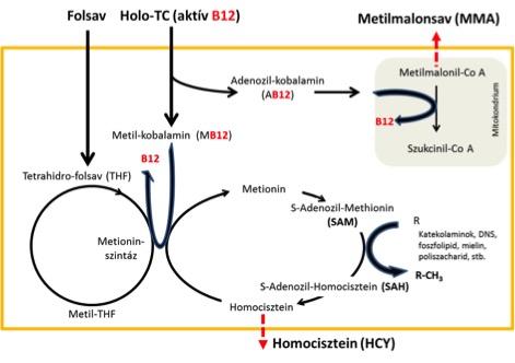 B12 és Folsav sejten belüli szerepe